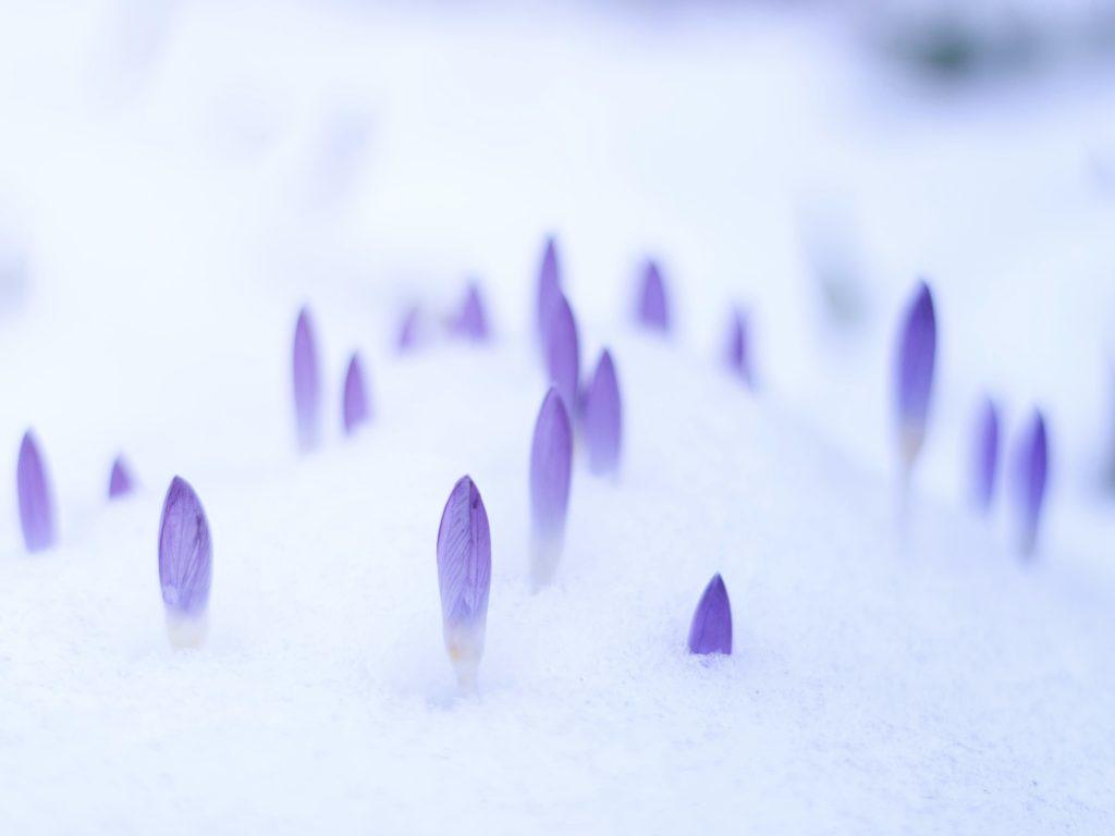 Snow crocus blooms