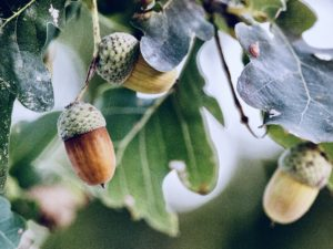 Acorns on the tree