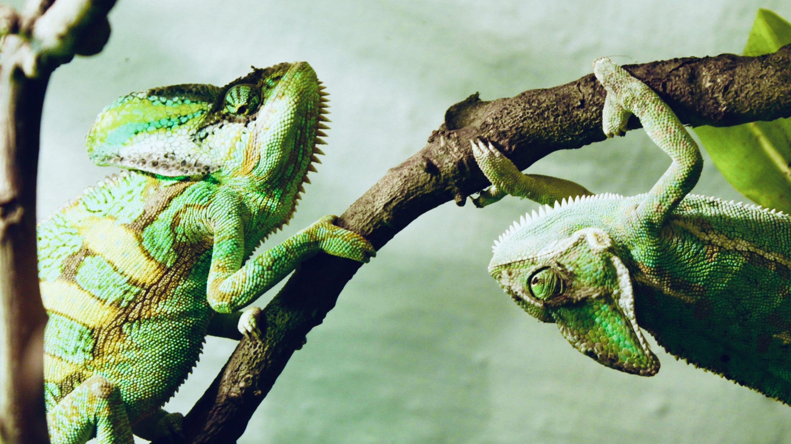 Two chameleons