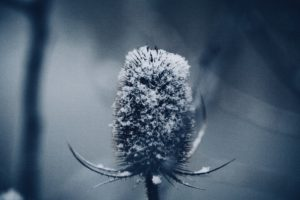 Frosty thistle in the winter