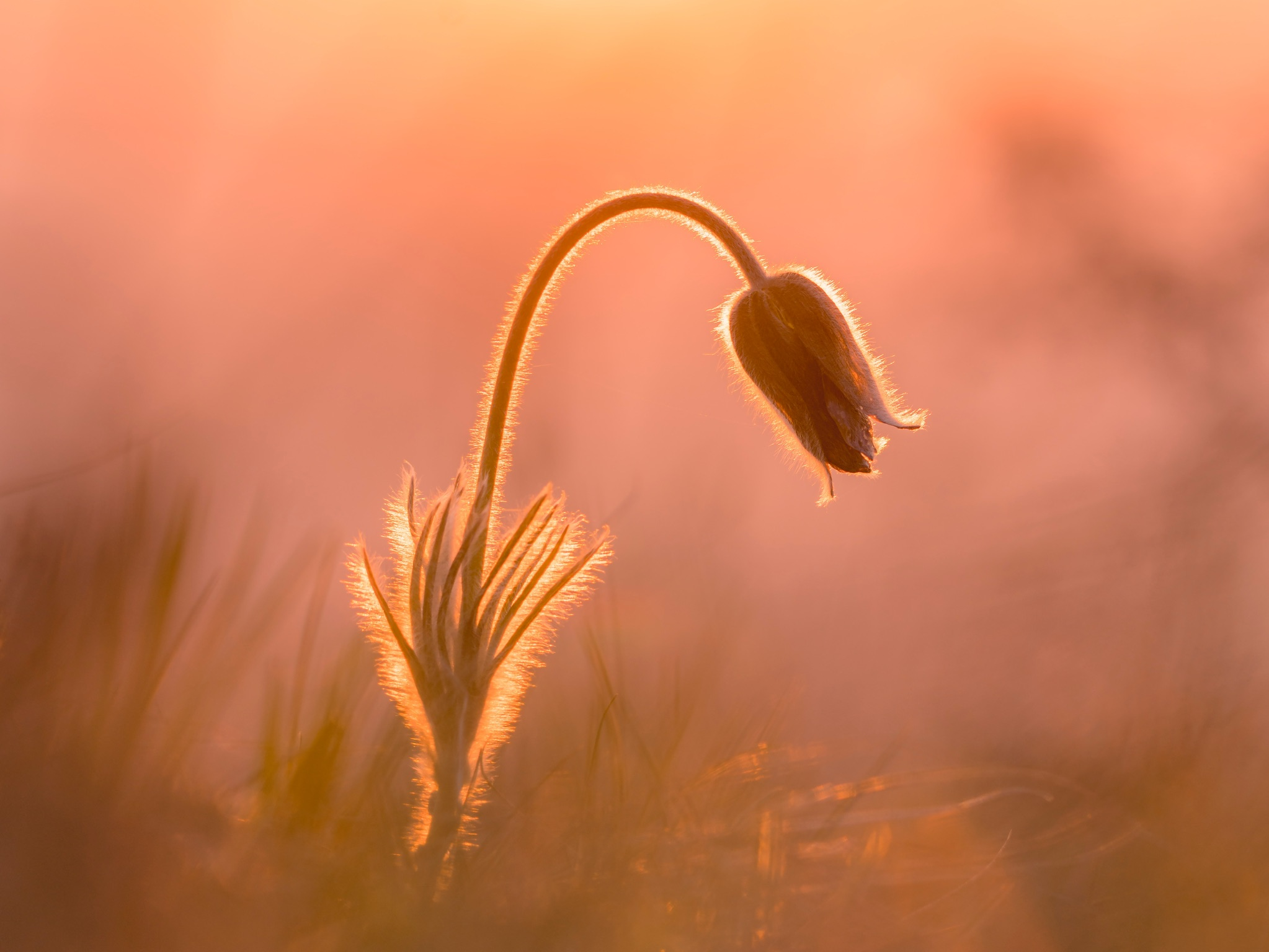 Mountain Pasqueflower in lights
