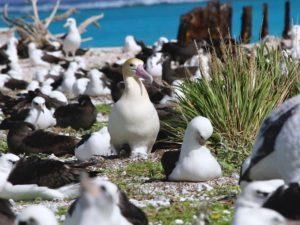 Albatross at the nesting colony
