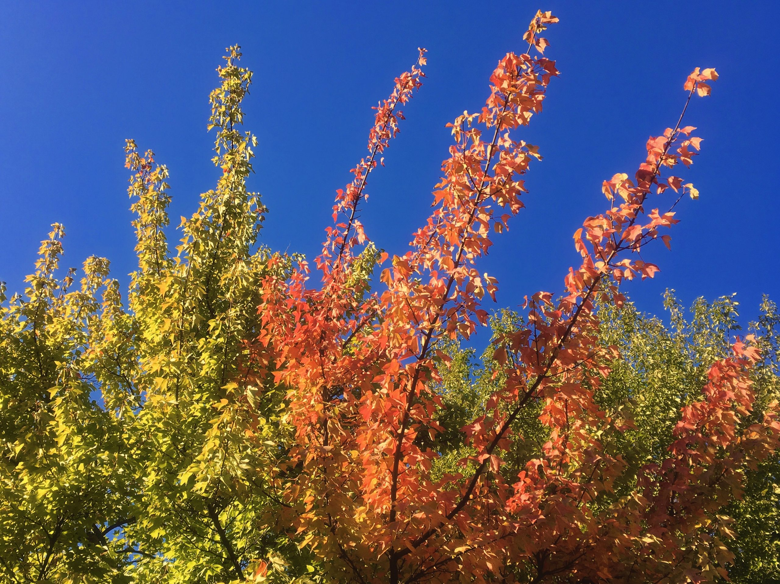 Bright autumn leaves on the tops of trees in the blue sky