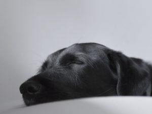 Sleeping black labrador retriever