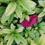 Una hoja roja sobre las hojas verdes de azalea