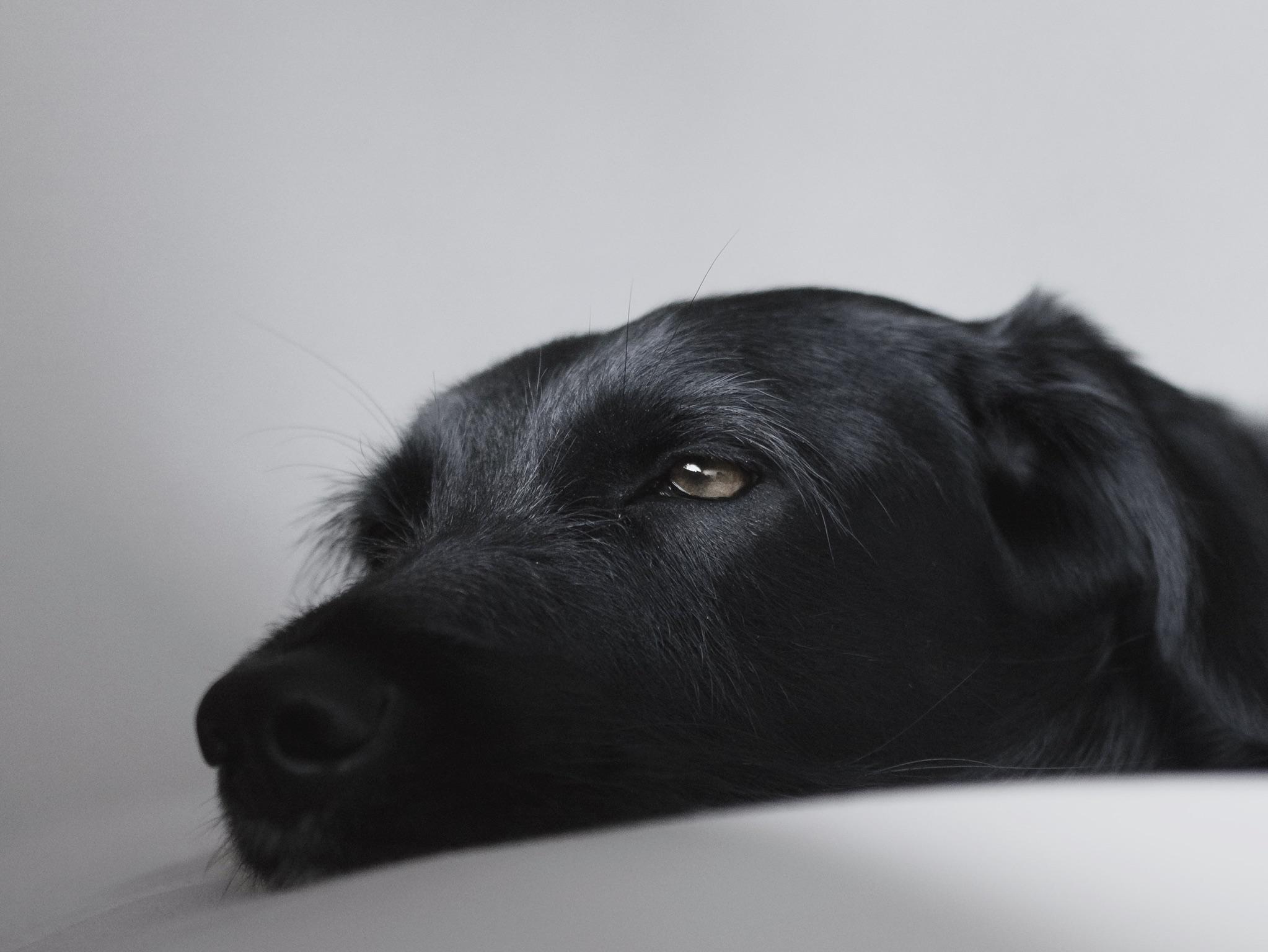 Lying black labrador retriever