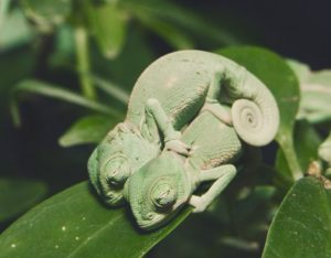 Dreaming twins baby chameleon