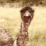 Emu in full action!, Nanaimo f, Canada