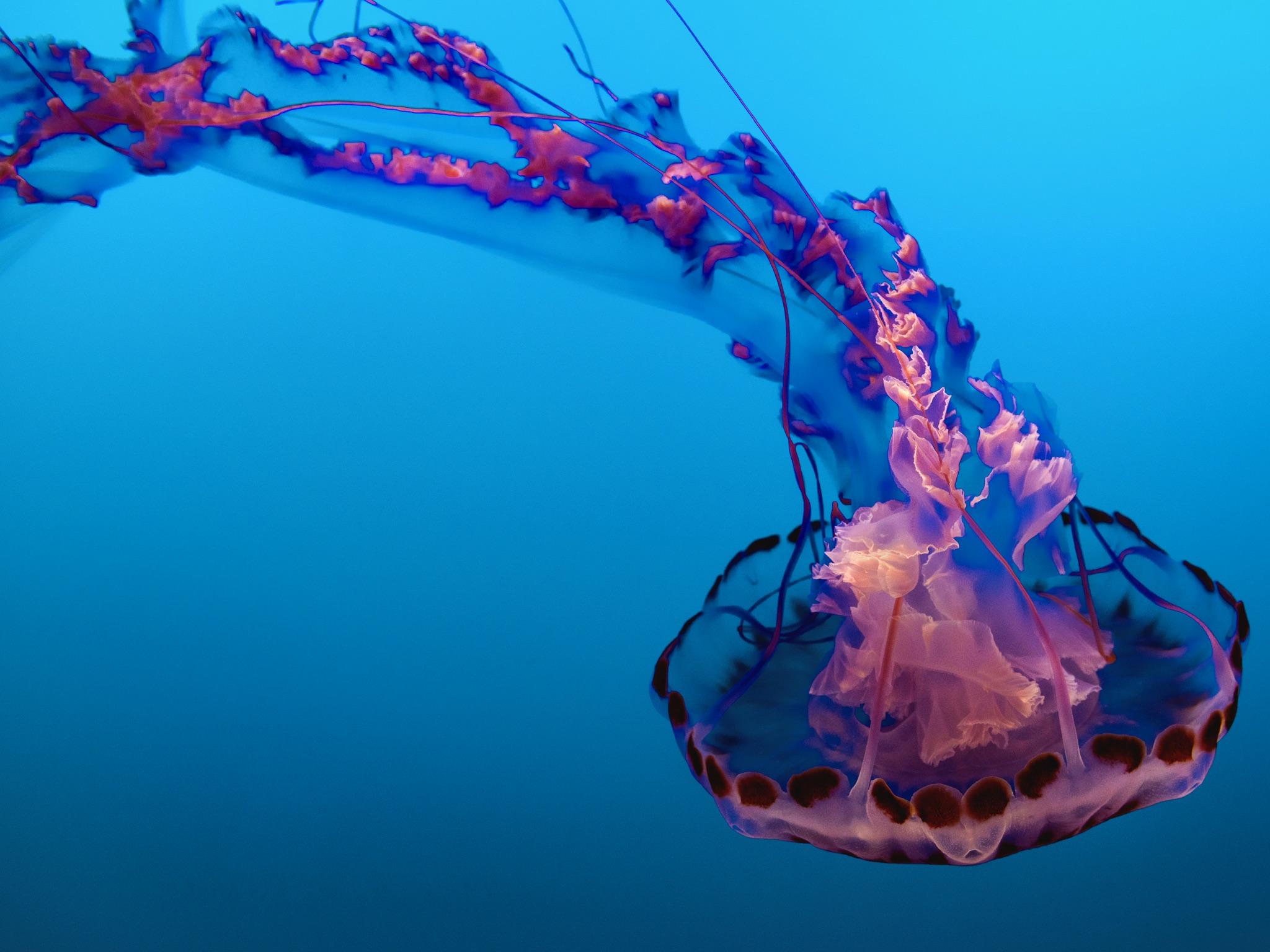Medusa rosa; en Acuario de la Bahía de Monterey, Monterey, Estados Unidos