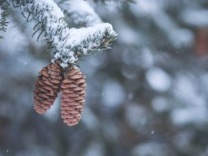 Two pine cones hanging on pine tree